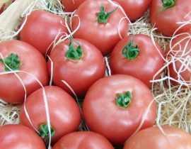 La tomate Honey Moon : enfin une vraie solution face au Mildiou