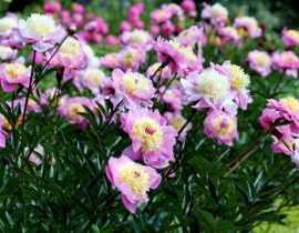 6 astuces pour faire de beaux bouquets de pivoines
