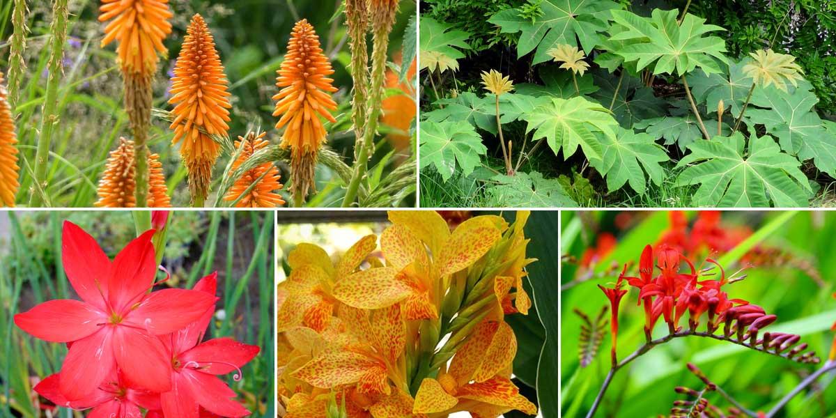 Ambiance exotique au jardin avec des cannas, kniphofias, crocosmias...