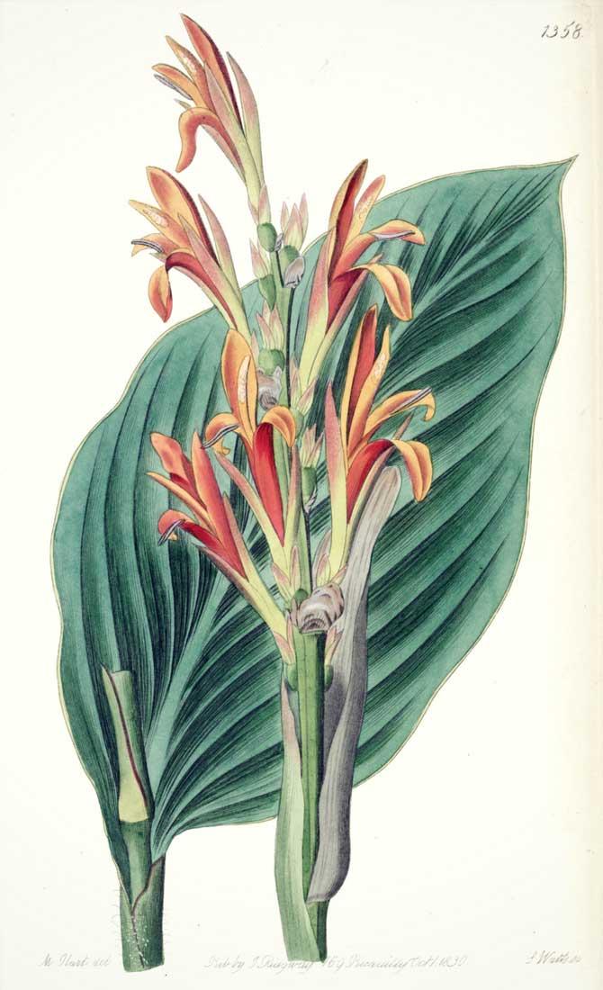 Illustration botanique du Canna indica ou Balisier