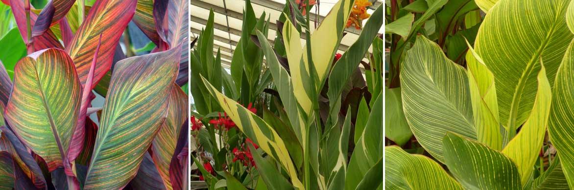 Les feuilles panachées ou striées des cannas