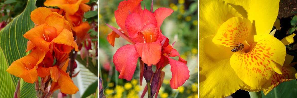 La floraison rouge, orange ou jaune du canna, ou balisier !