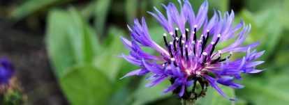 Centaurée : semis, plantation et entretien