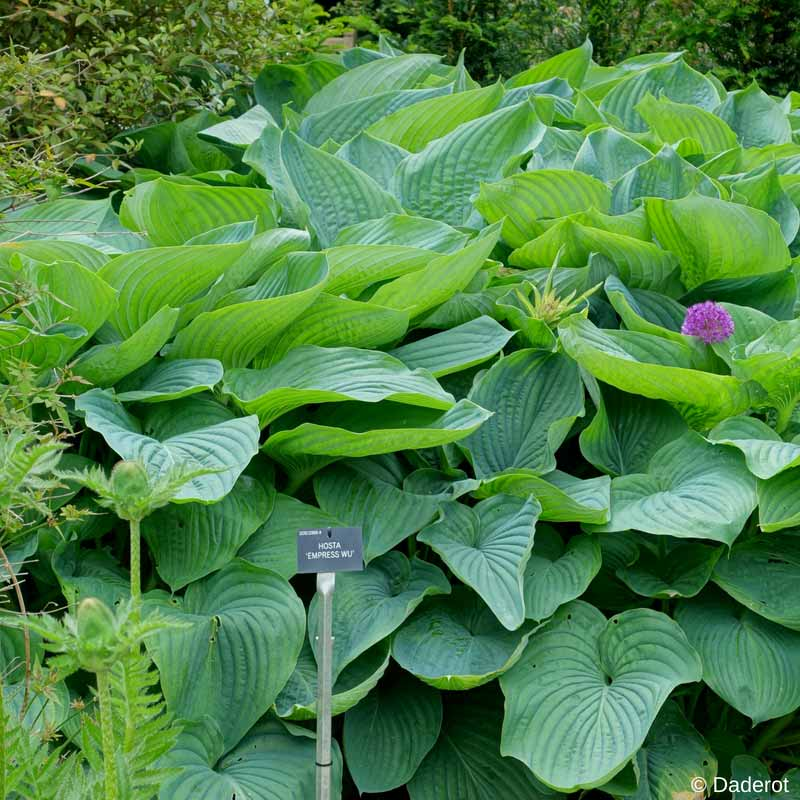 Hosta Empress Wu, un hosta géant, rustique