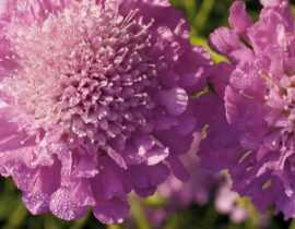 Scabieuse, Scabiosa : semer, planter et cultiver