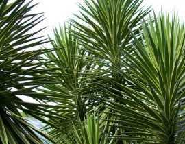 Yucca d'extérieur : choix, plantation, entretien, en pot ou au jardin