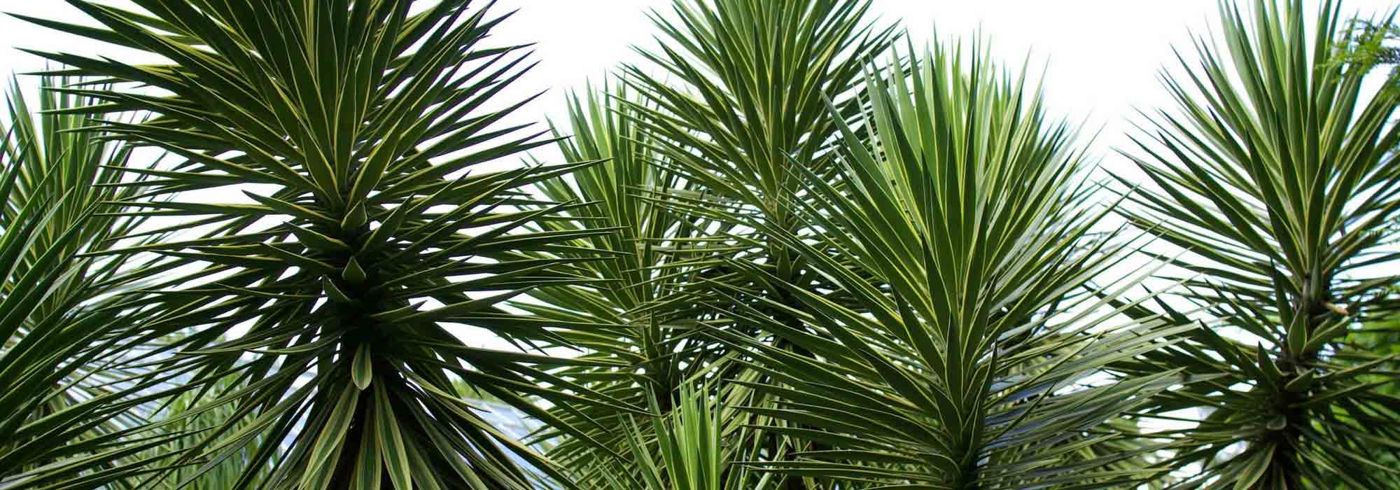 yucca d'extérieur : choix, plantation, entretien, en pot ou au
