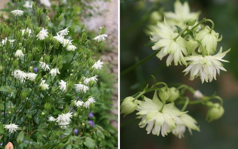 Fleurs de l'Ancolie ou aquilegia Green Apple
