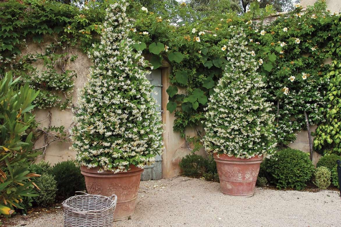 Plante Haute En Pot le jasmin : plantation, entretien, taille - nos conseils
