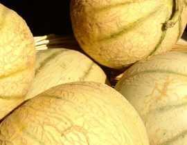 Melon : semis, plantation, culture et taille