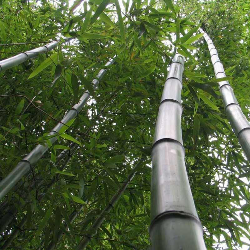 Le Phyllostachys vivax Huangwenzhu, un bambou géant qui peut atteindre 10 mètres de haut