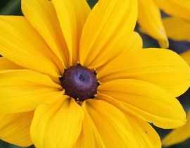 Rudbeckia annuel : semis, plantation, entretien