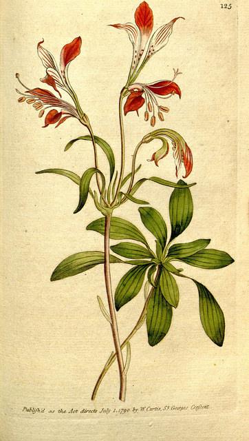 Alstroemeria, lis des incas