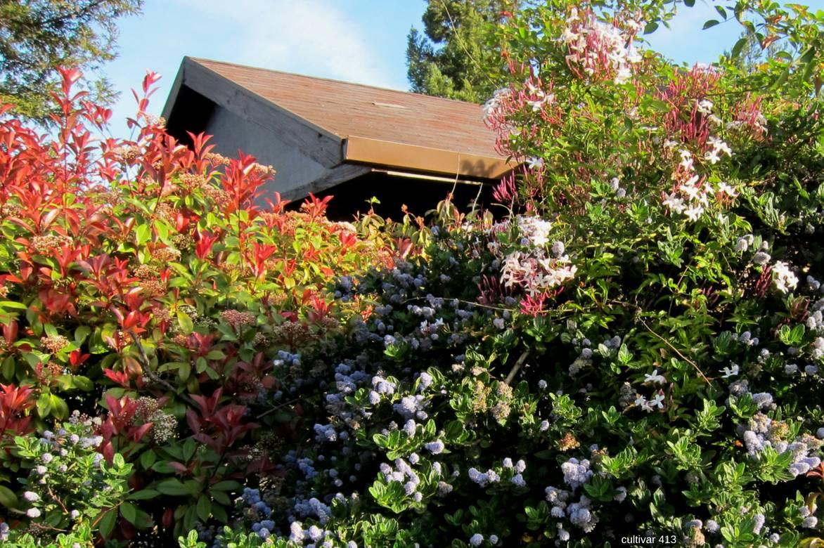 photinia plantation taille et entretien nos conseils promesse de fleurs. Black Bedroom Furniture Sets. Home Design Ideas