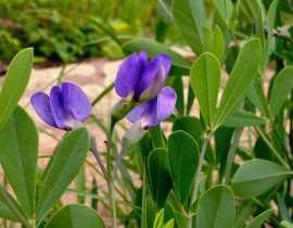 Baptisia ou Lupin indigo : semer, planter et cultiver
