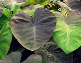 Colocasia : planter, cultiver et entretenir