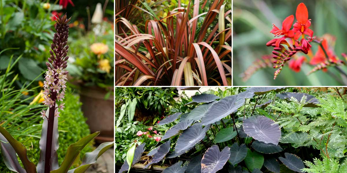 eucomis fleur ananas nos conseils de plantation culture et entretien promesse de fleurs. Black Bedroom Furniture Sets. Home Design Ideas