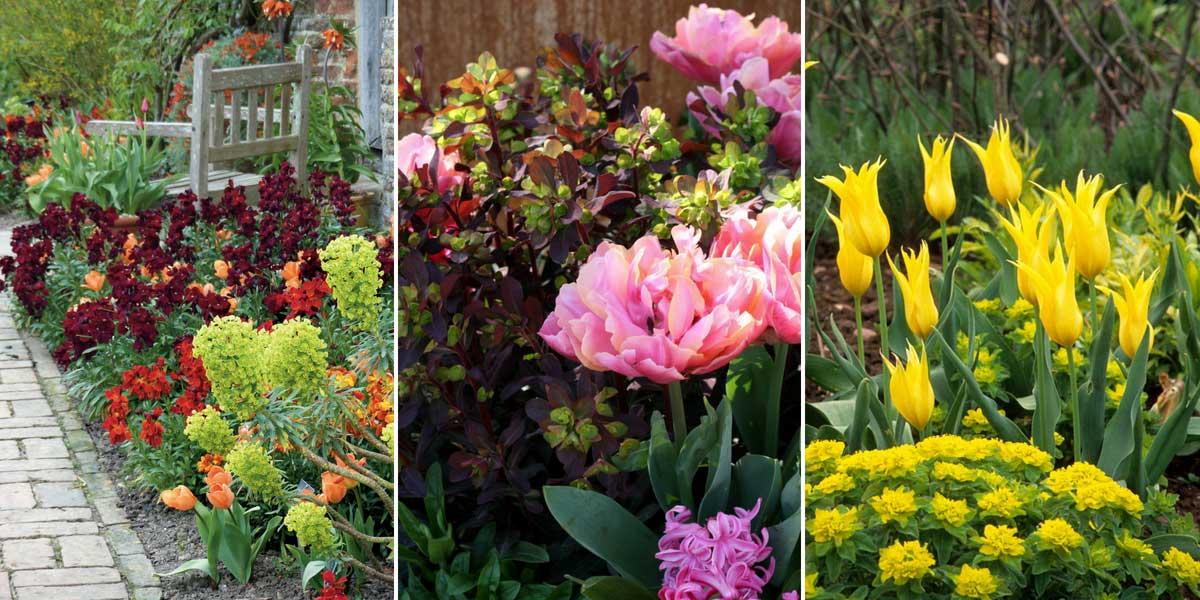 Des idées d'association au jardin : Euphorbes, tulipes et giroflées