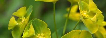 Les euphorbes : planter, cultiver et entretenir