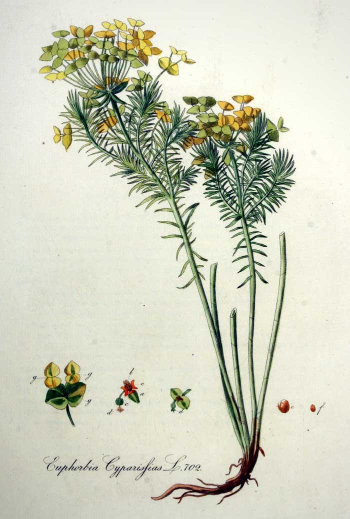 Planche botanique représentant l'Euphorbe petit-cyprès