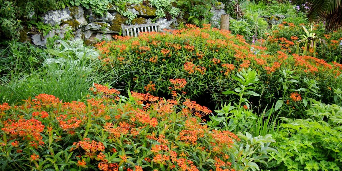 La floraison orangée de l'euphorbe griffithii