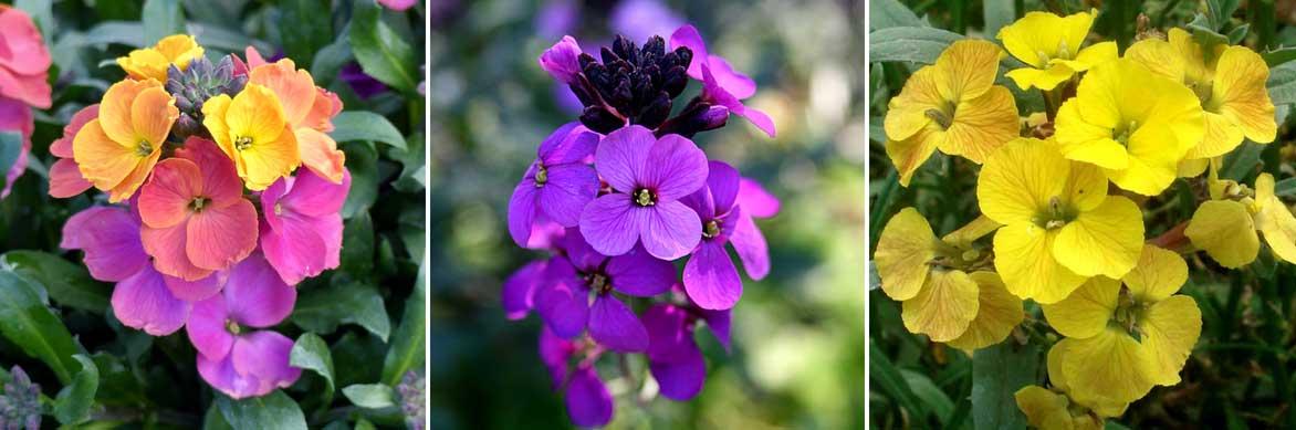 La floraison des giroflées, Erysimum cheiri