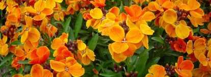 Les giroflées : semer, planter, cultiver et entretenir