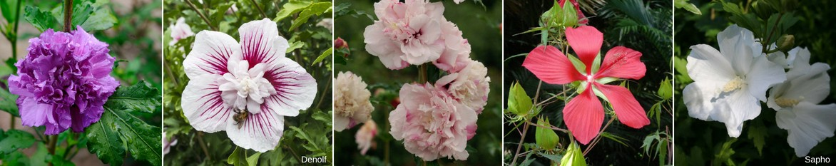 Hibiscus coccineus 1 plant en godet