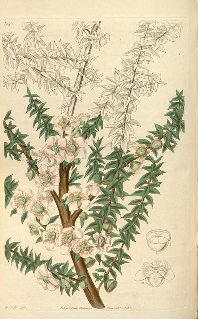 Leptospermum ou arbre à thé