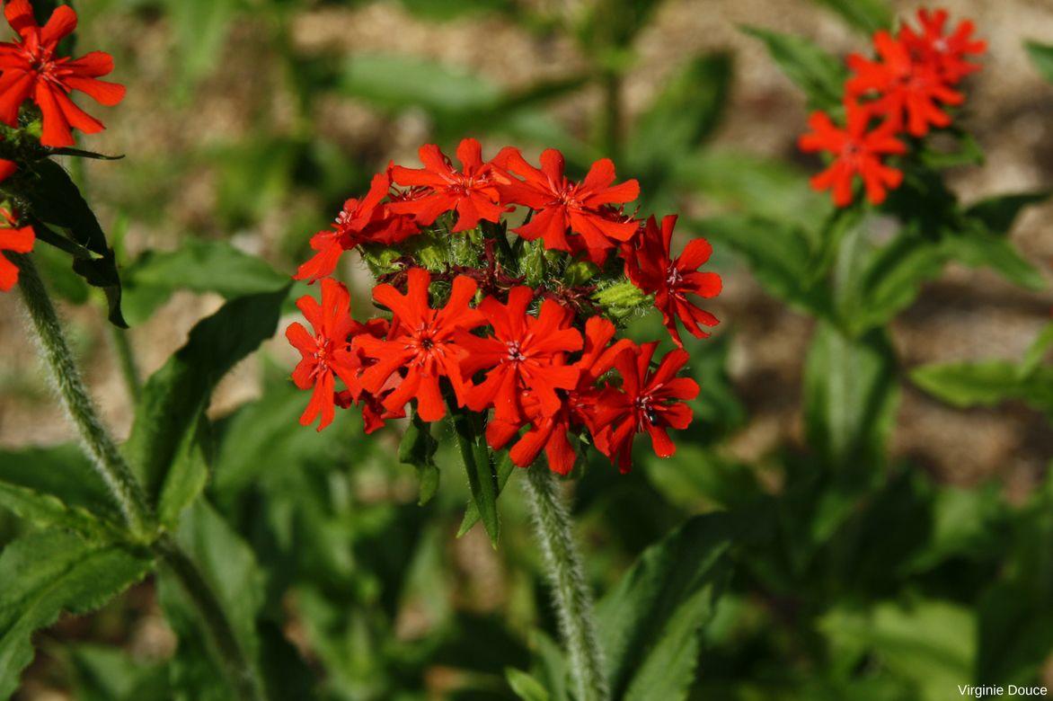 Fleurs croix de jerusalem