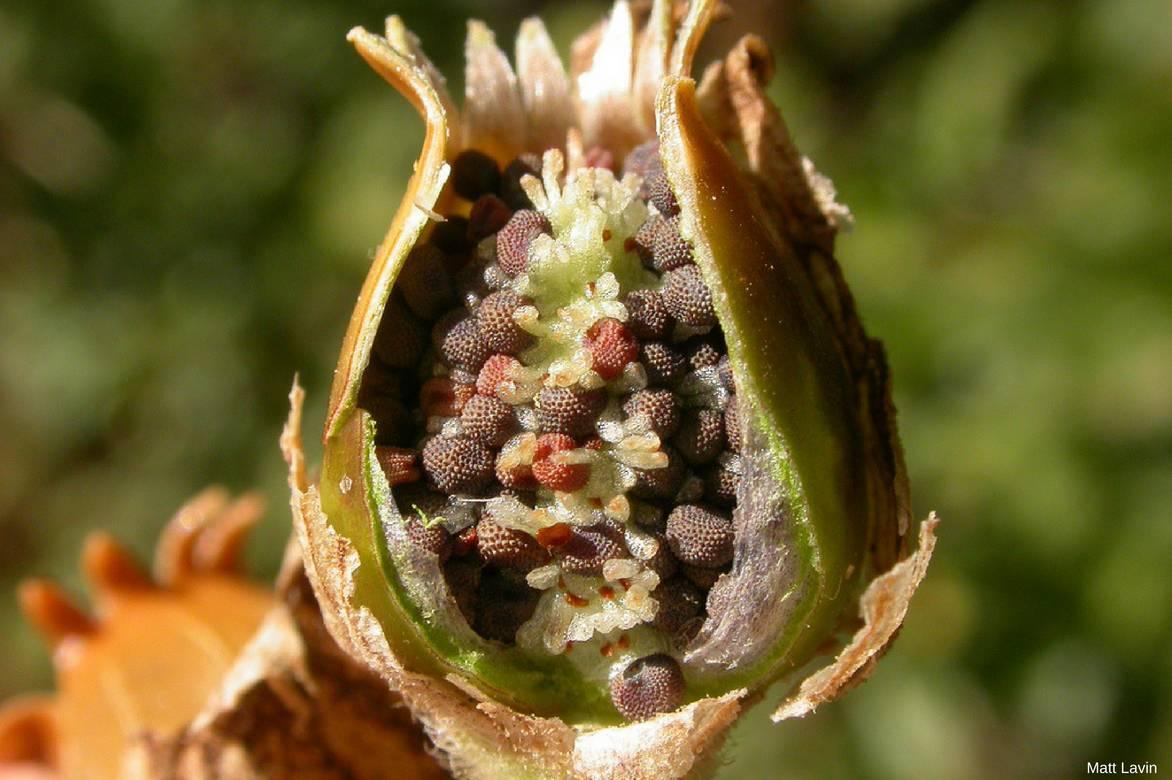 graines coquelourde des jardins