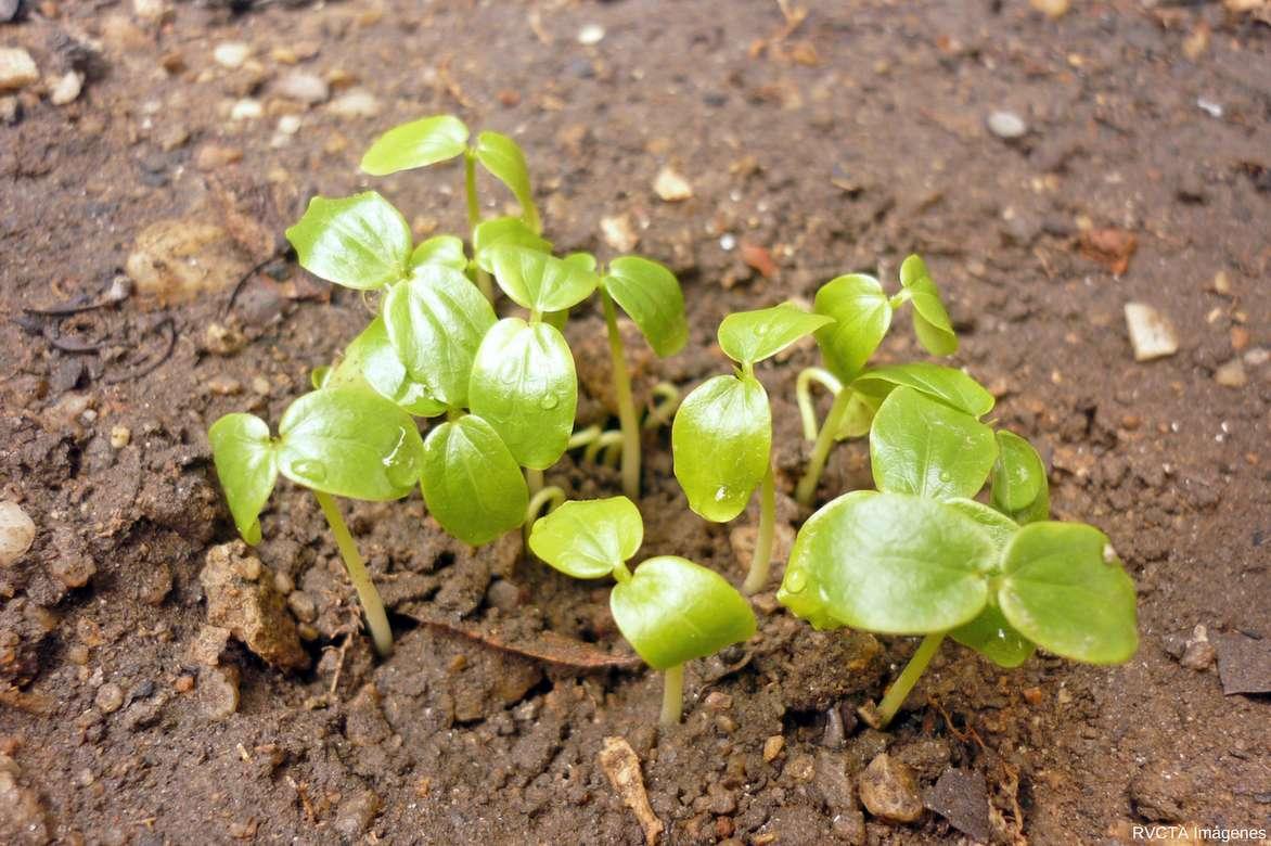 Quand Et Comment Tailler Une Passiflore passiflore, fleur de la passion : planter, cultiver, tailler