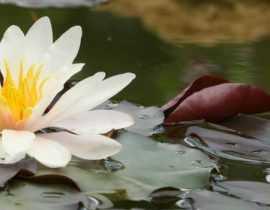 Bassin : 10 plantes aquatiques, immergées ou flottantes