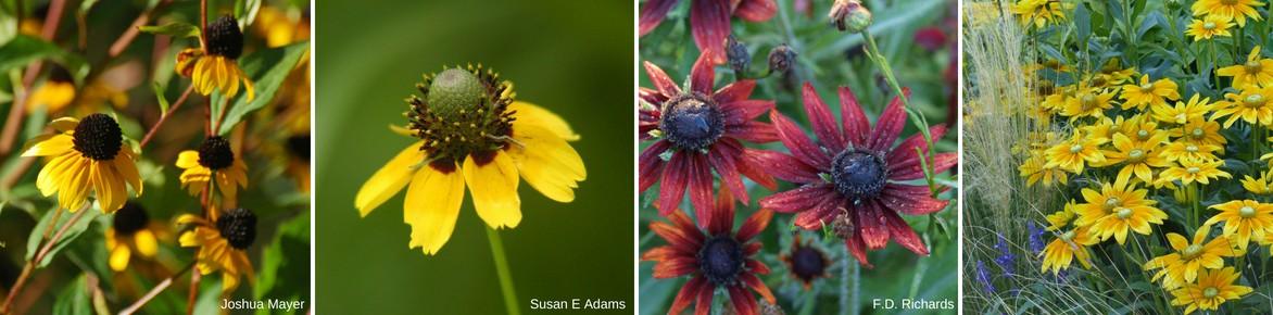 Rudbeckia fleurs