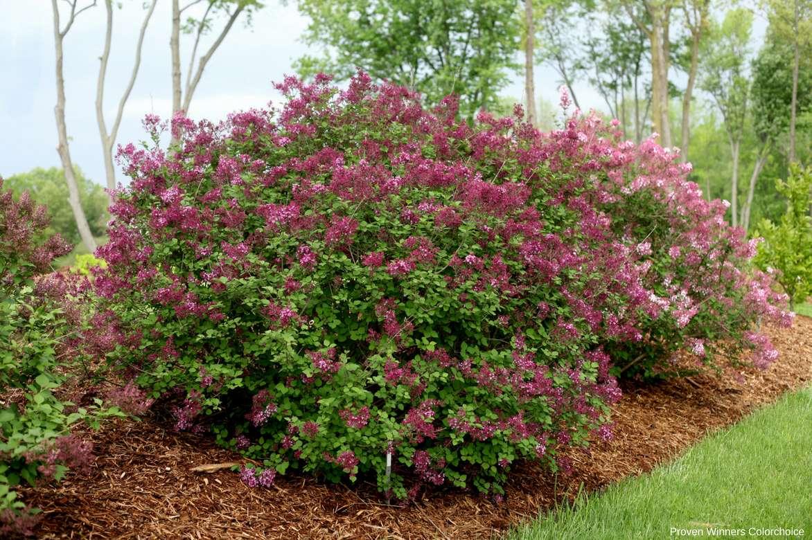 lilas syringa vulgaris planter tailler et entretenir nos conseils promesse de fleurs. Black Bedroom Furniture Sets. Home Design Ideas