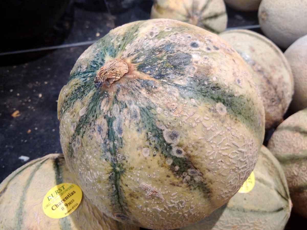 Melon semer planter et bien le cultiver au potager conseils blog promesse de fleurs - Quand recolter les melons ...