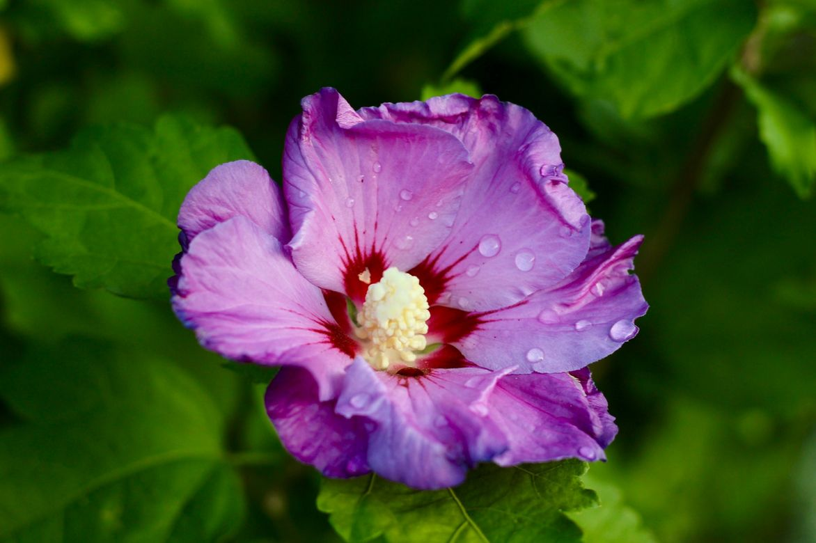hibiscus alth a planter cultiver et entretenir promesse de fleurs. Black Bedroom Furniture Sets. Home Design Ideas