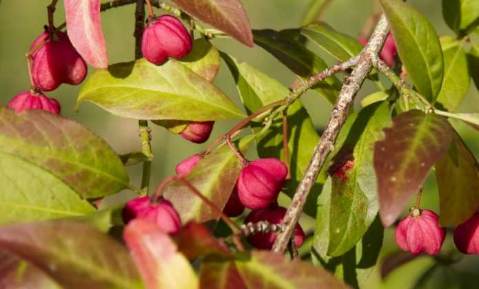 Fusain, euonymus : planter, tailler et entretenir