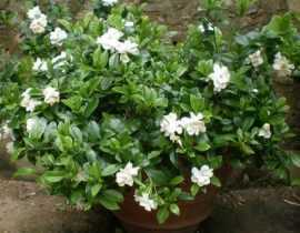 Gardenia Perfumed Petticoats, un parfum inoubliable, une rusticité incroyable !