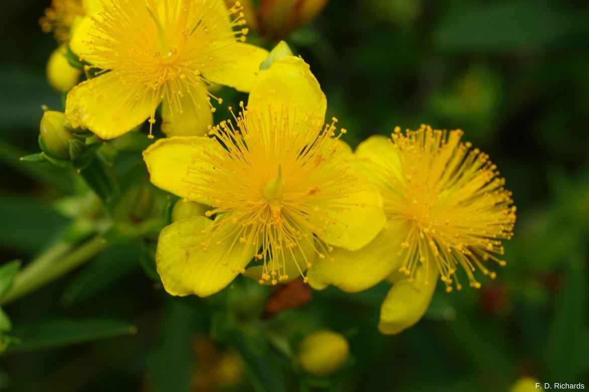 millepertus, fleurs jaunes