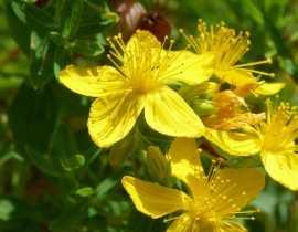 Hypericum, Millepertuis : plantation, taille, entretien