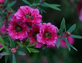 L'arbre à thé, Leptospermum : planter, tailler et entretenir