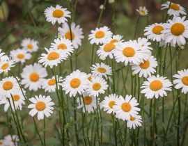 Marguerite, Leucanthemum : planter et entretenir
