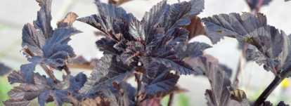 Physocarpus, Physocarpe à feuilles d'Obier : planter, tailler et entretenir