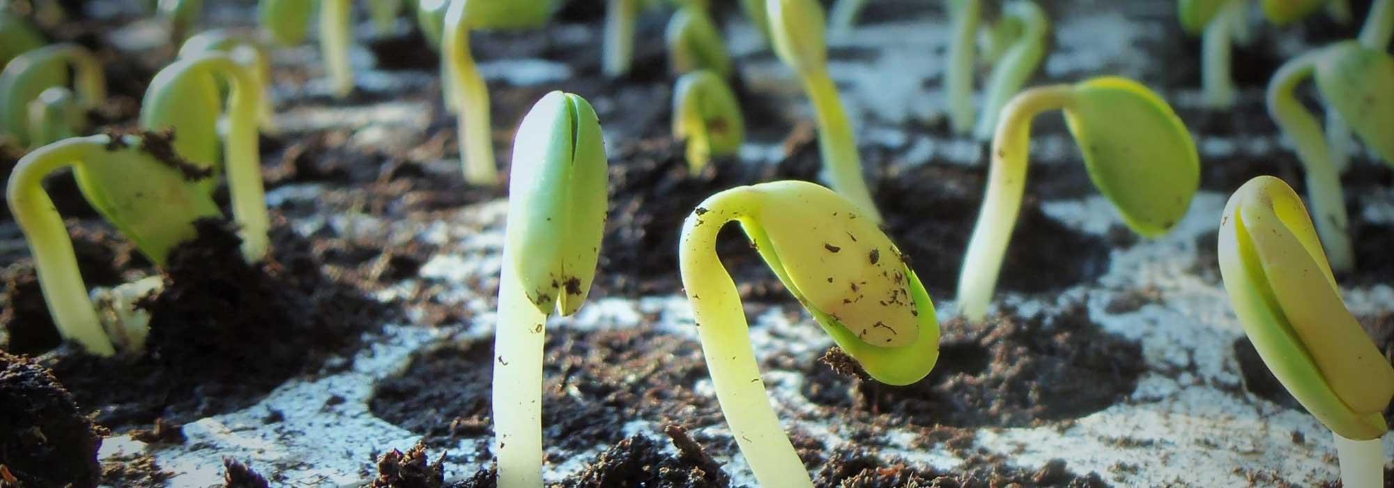 Faire Germer Un Marron D Inde semer des graines : tout ce qu'il faut savoir, nos conseils