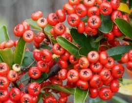 Pyracantha, Buisson ardent : planter, tailler et entretenir
