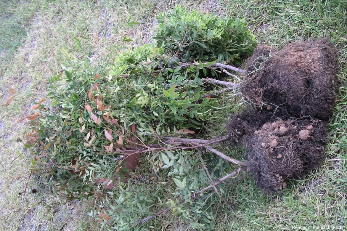 Bambou sacr nandina domestica plantation taille et entretien blog promesse de fleurs - Bambou sacre fire power ...