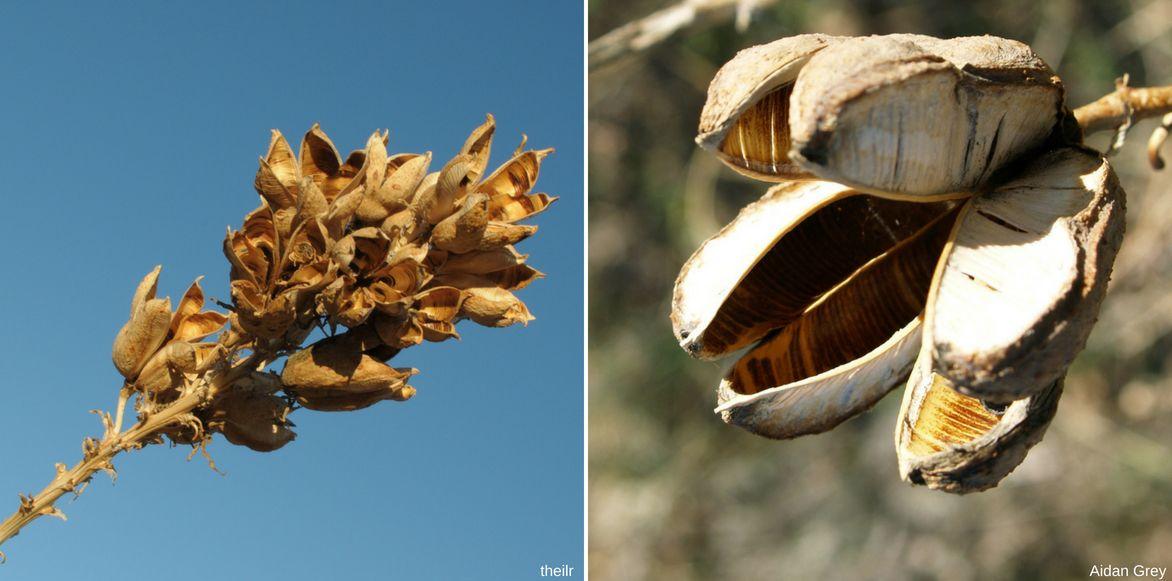 yucca, fleur fanée