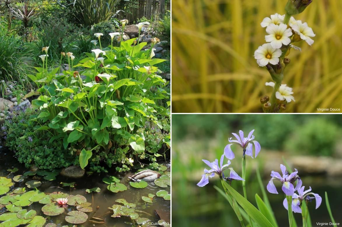 les arums : planter, cultiver et entretenir - promesse de fleurs