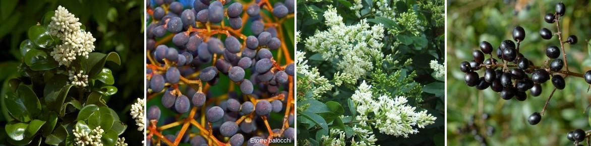 Fleurs et fruits de ligustrum